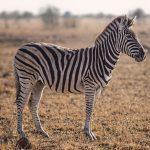 Werkstuk over de Zebra