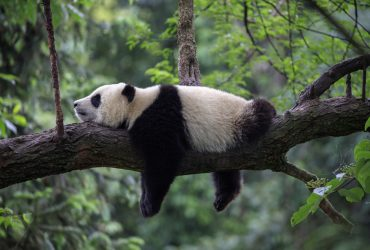 panda spreekbeurt