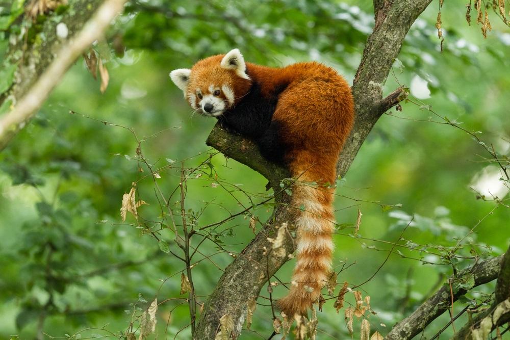 rode panda informatie