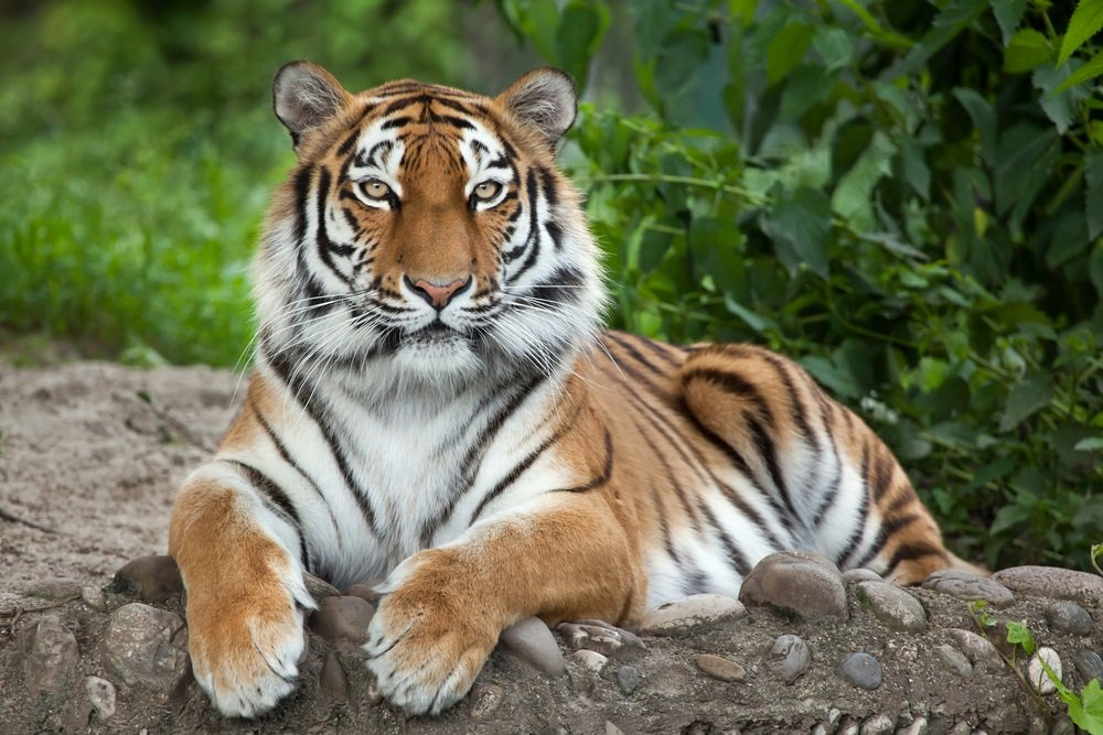 spreekbeurt over de tijger