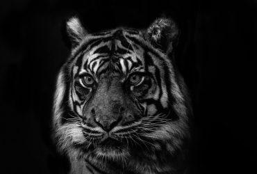 De Siberische tijger